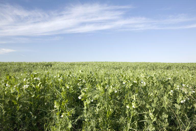 Field of Peas